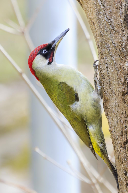 Green woodpecker. (Gröngöling)