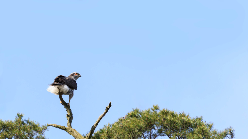 A goshawk scouting its turf.