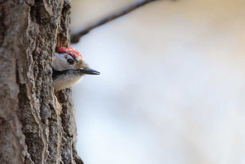 Guarding the nest. (Woodpecker)