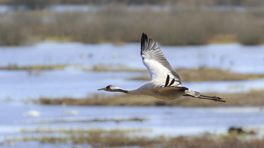 Migrating Crane going back north.
