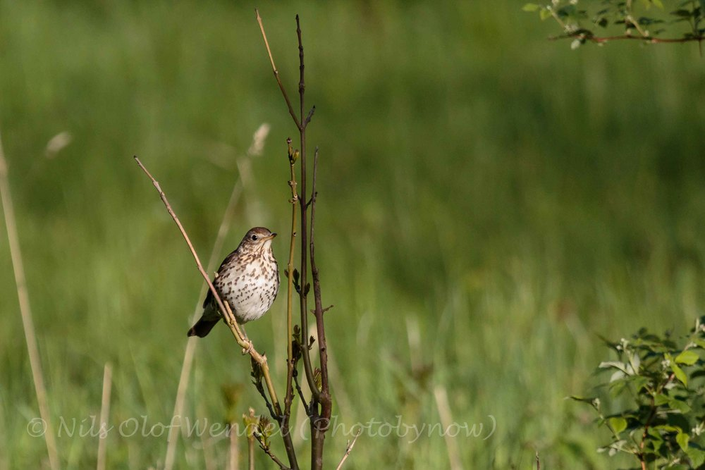 A Song Thrush (Taltrast) enjoys the last sun of the day.
