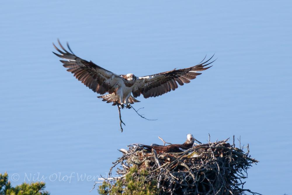 Ospreys nesting.