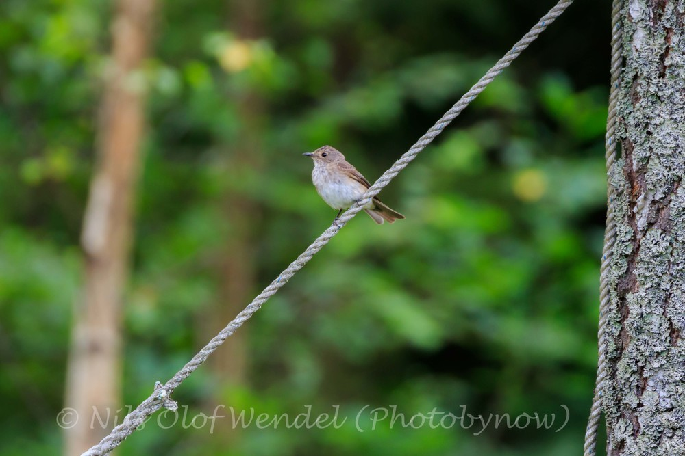 A spotted Flycatcher on a thin line.