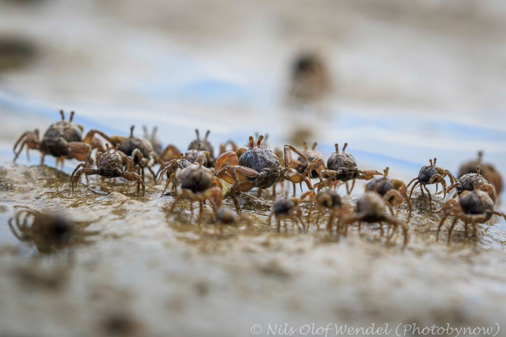 Crab invasion.