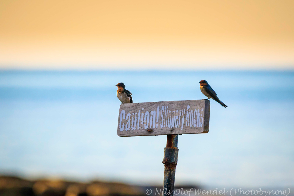 Swallows on a sign.
