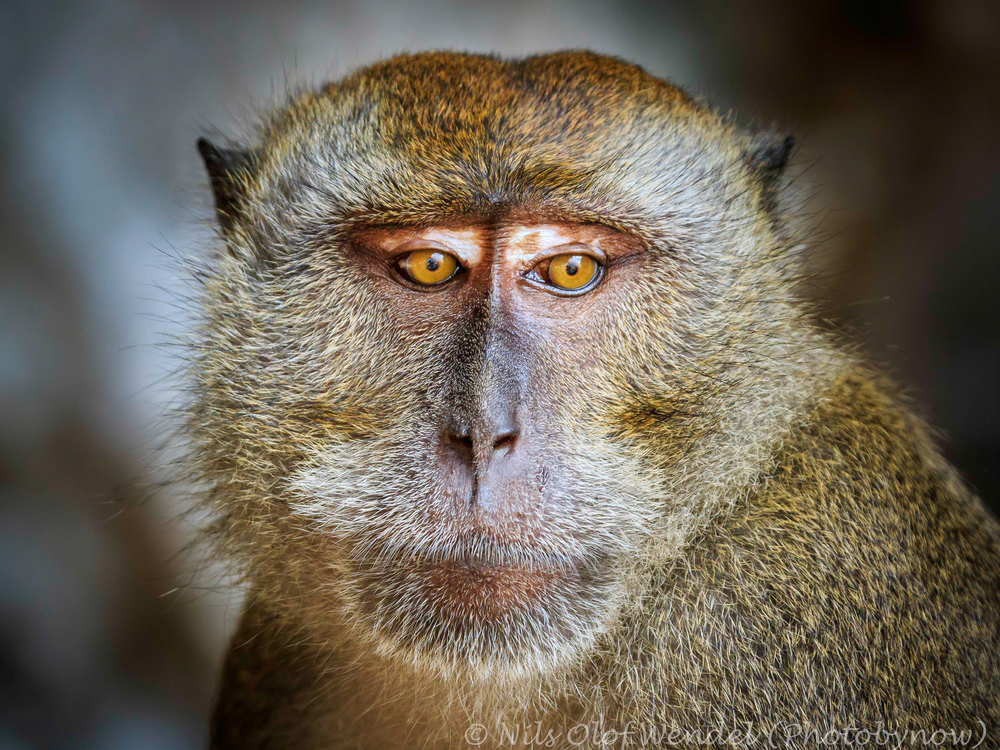 An Macaque monkey.