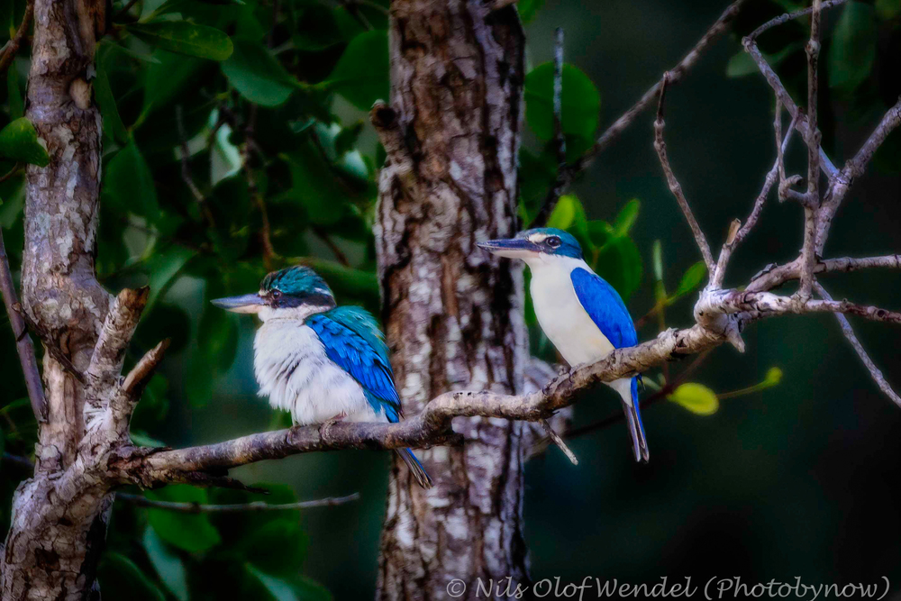 Kingfisher couple. (Guess which one that's the male)