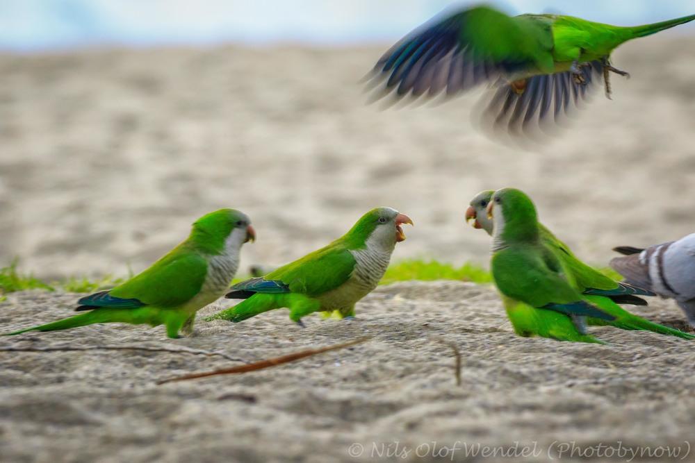 Monk Parakeets.