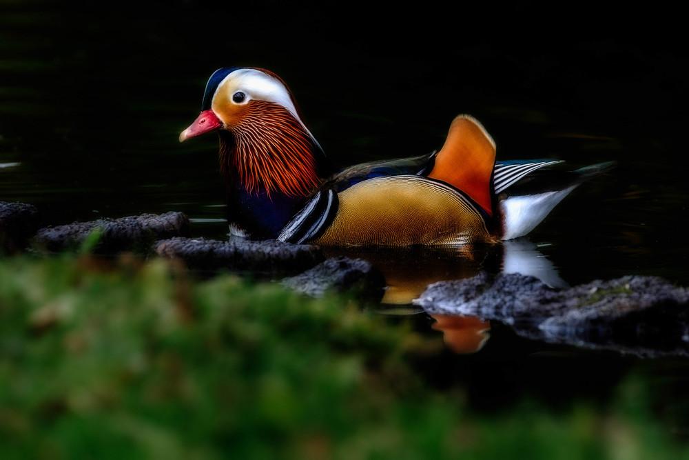 Amazingly beautiful Mandarin.