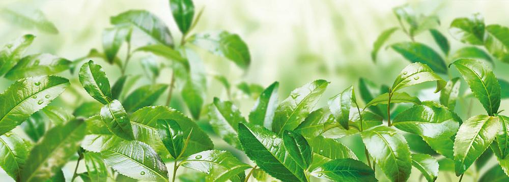 Milford Grüner Tee