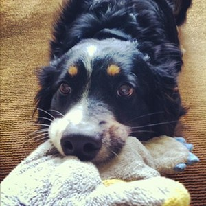 Ashe is Nancy's  working partner to help during sessions. He is a 7 yr old, intact male English Shepherd  - a rare breed!