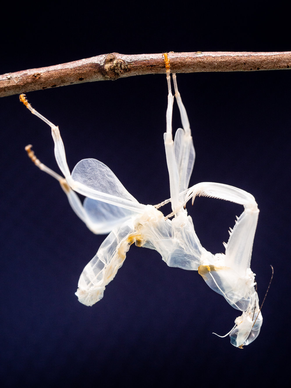 Exuviae of  Hymenopus coronatus  (Orchid mantis)