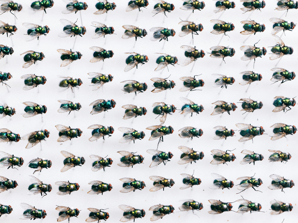 Pinned greenbottle flies ( Lucilia sericata )