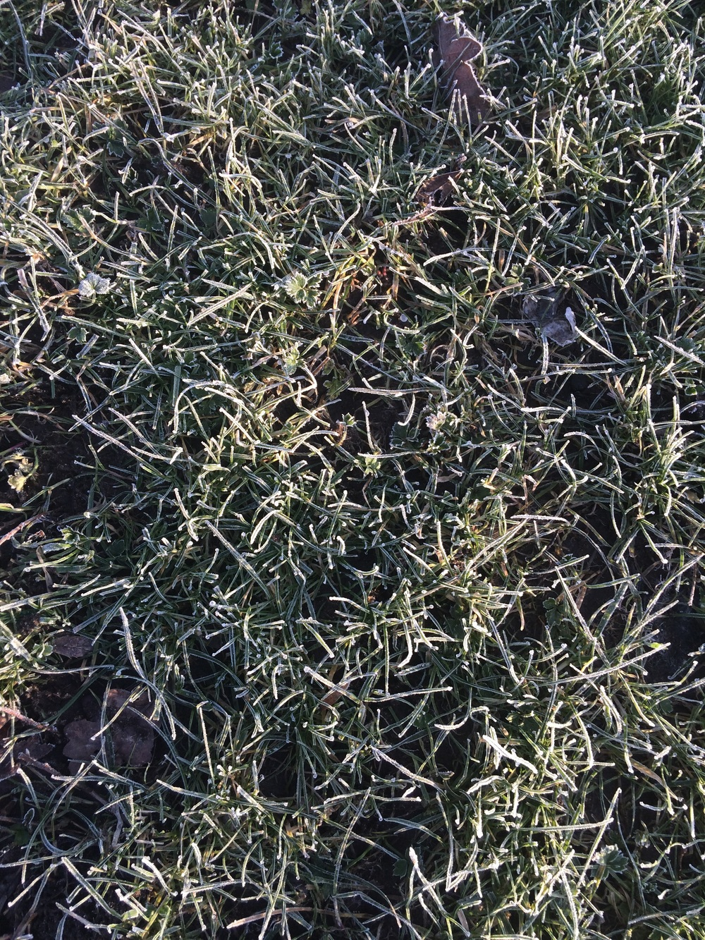 Frosty grass in Woolston park