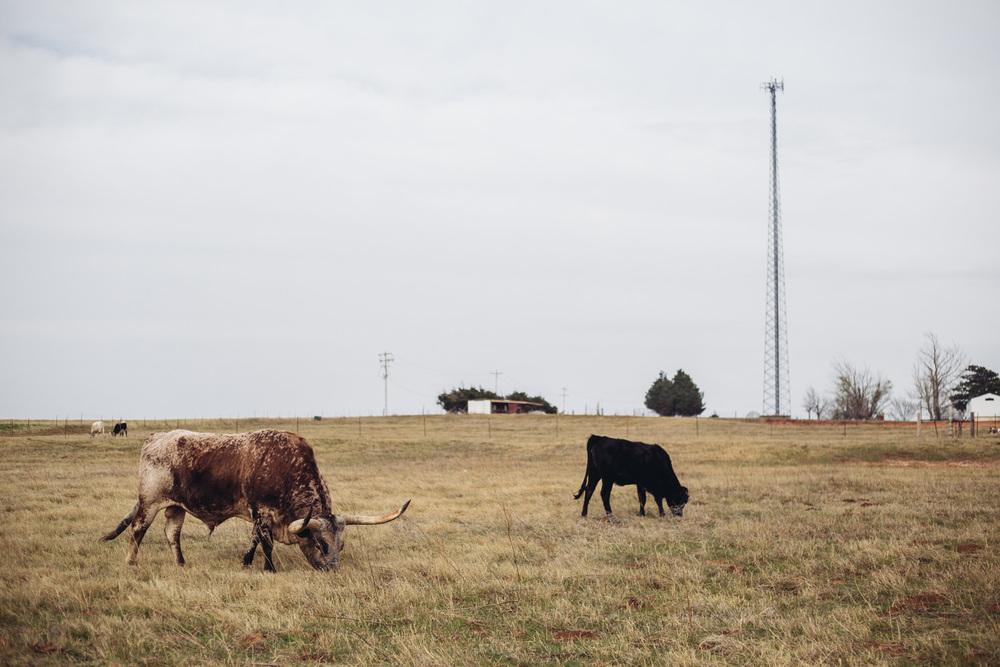 Oklahoma Longhorn