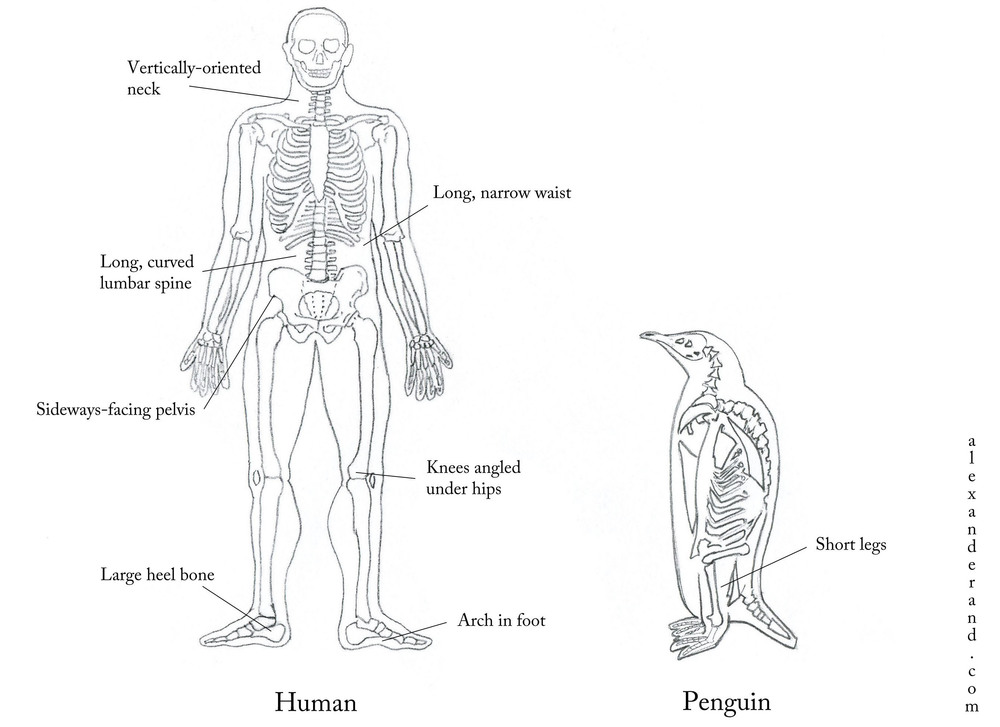 Human adaptations for efficient walking. This image has been modified from Lieberman's The Story of the Human Body to include, um, a penguin.