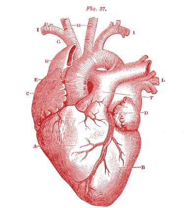 Royalty-Free-Images-Anatomy-Heart-GraphicsFairy-red1.jpg