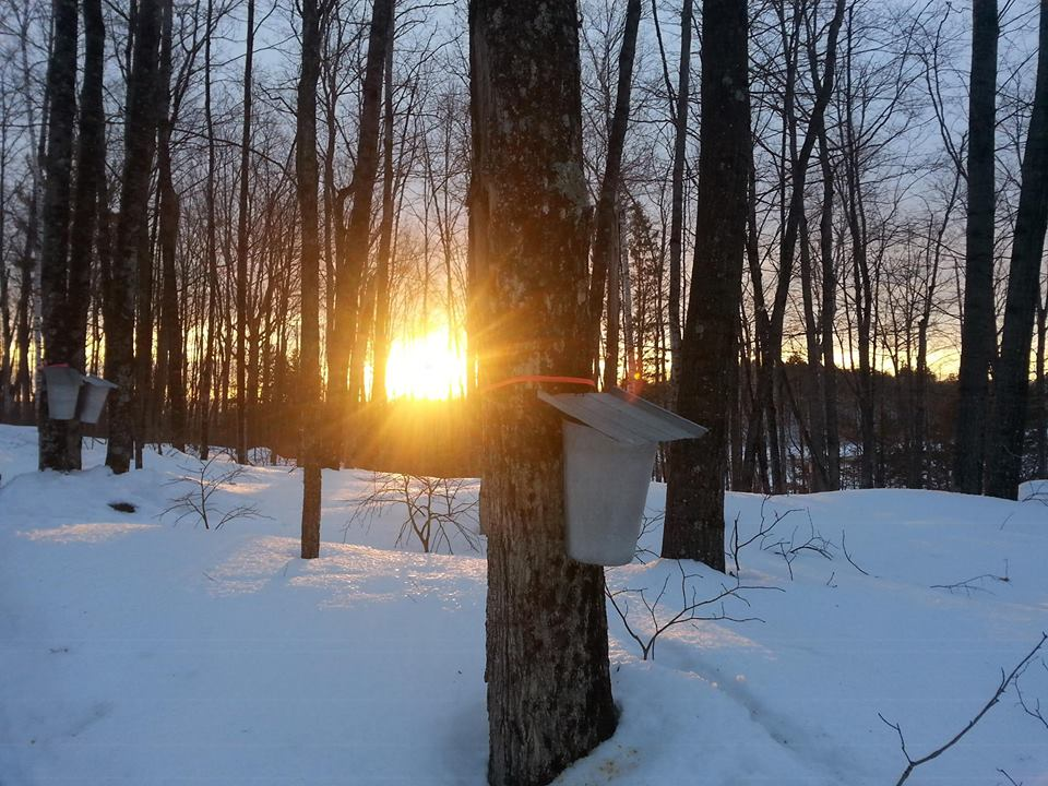Maple sap harvesting Reservation required