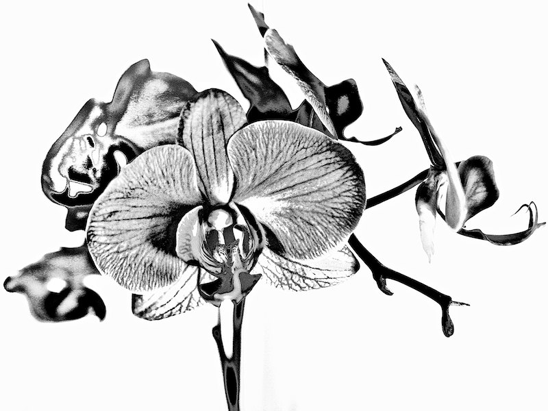 Study of an Orchid #5
