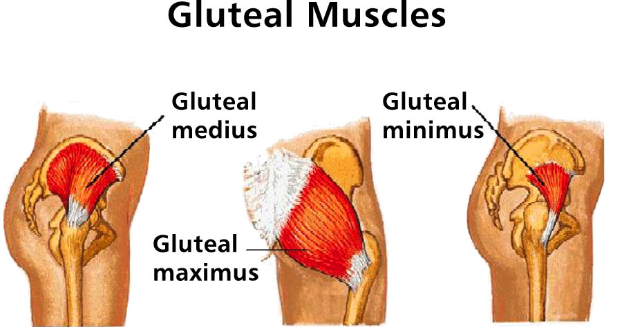 Which Exercises Elicit The Most Response From The Gluteus Maximus