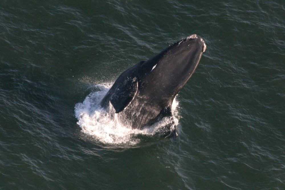 20100307_Christin_Khan_right_whale_breach_from_air_8431.JPG
