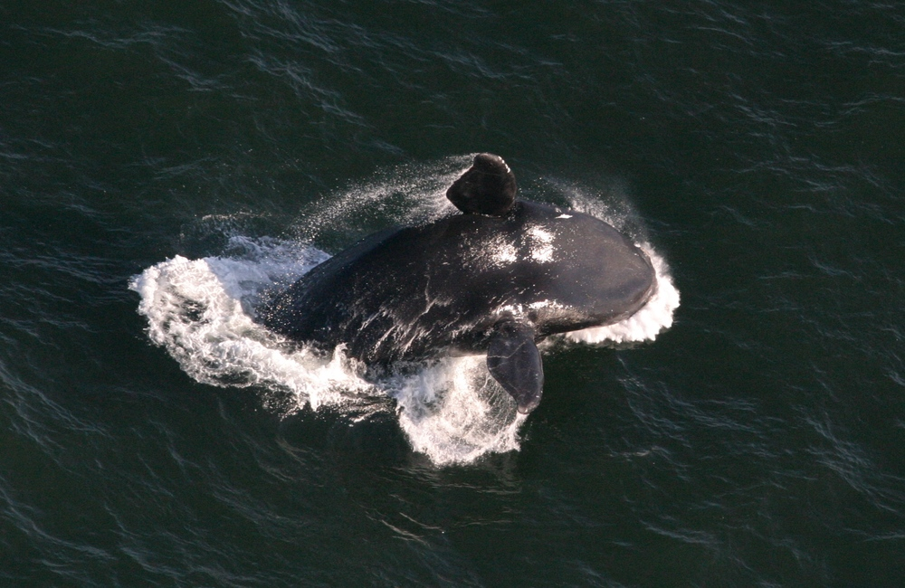 20100307_Christin_Khan_right_whale_breach_from_air_8432.JPG