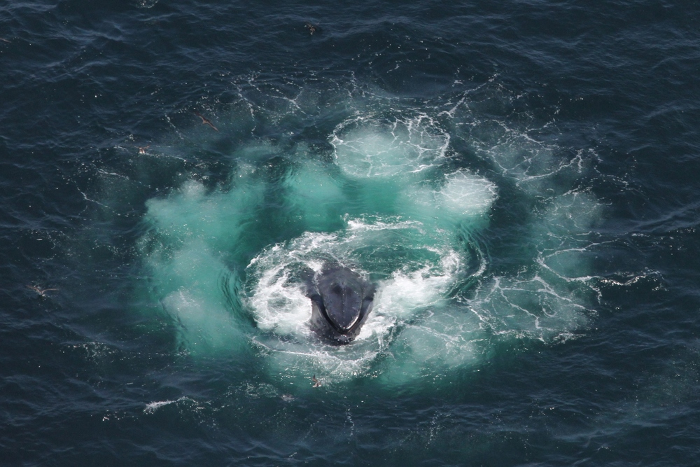 20130707_Christin_Khan_humpback_whale_bubble_feeding.JPG