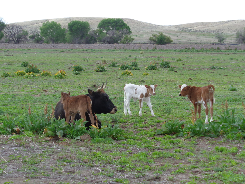 Always happy cows on Thistle Dew Ranch.