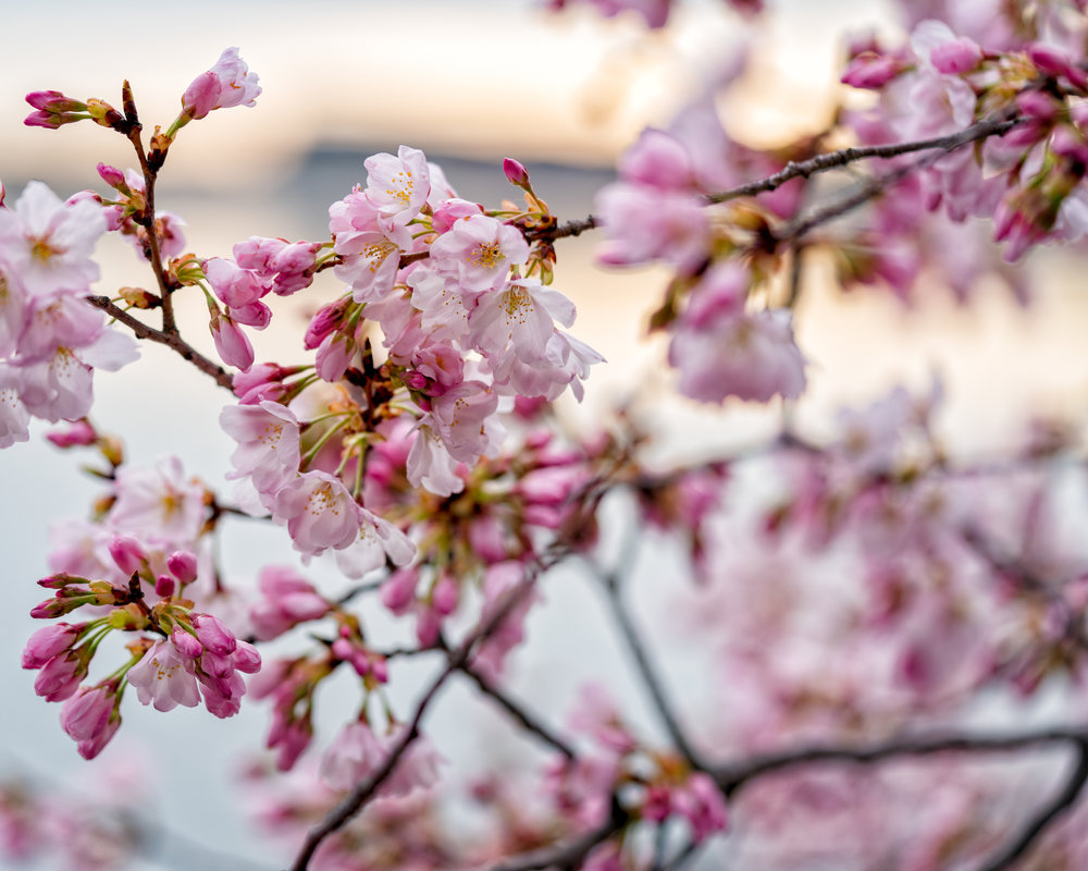 These are some of the shots I am working on this year.  Stacking this photo so you have more in focus but still have that shallow dof Bokeh to really have the Cherry Blossoms pop.  ---- Sony A7R3 --- 7:43am -- Sony 90mm Macro, F.2.8, 1/125, ISO 250