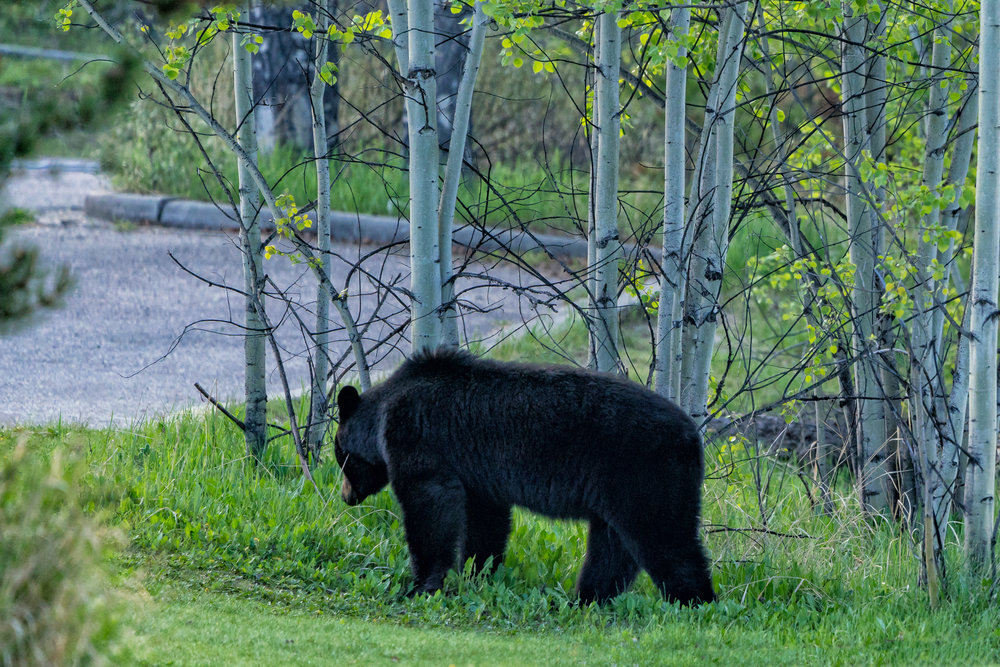 Bear near Athabasca Falls