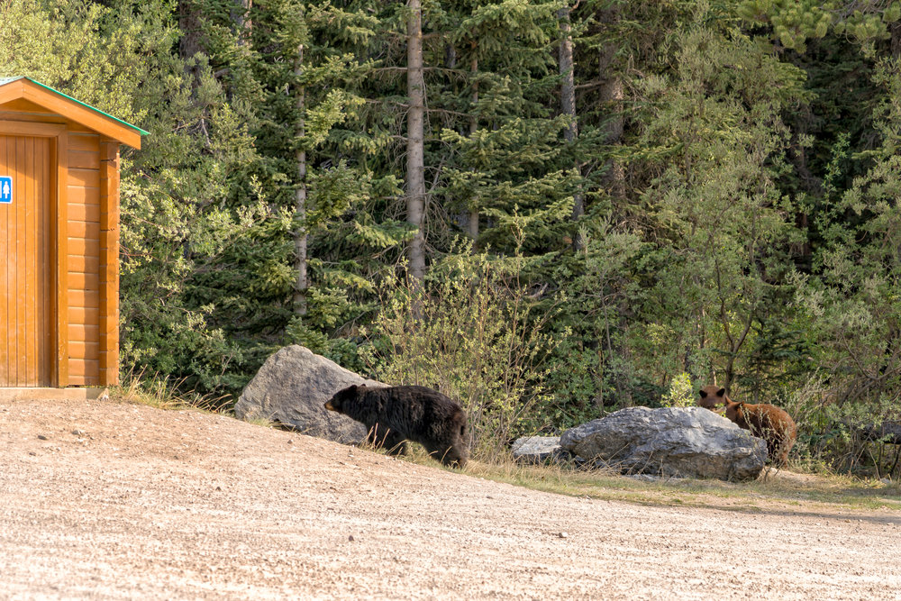 Momma Bear and Cubs near Tangle Creek Falls