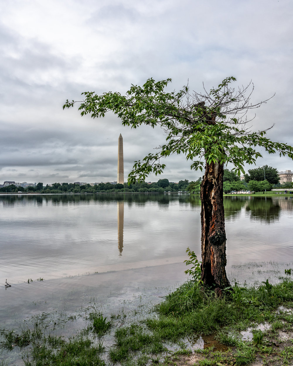 One of the best trees around the tidal basin, reflection isn't to shabby either.