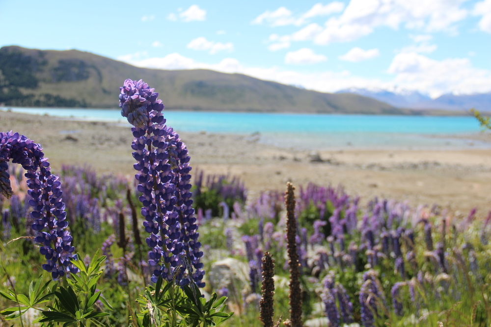 Lupins at Lake Tekapo, New Zealand