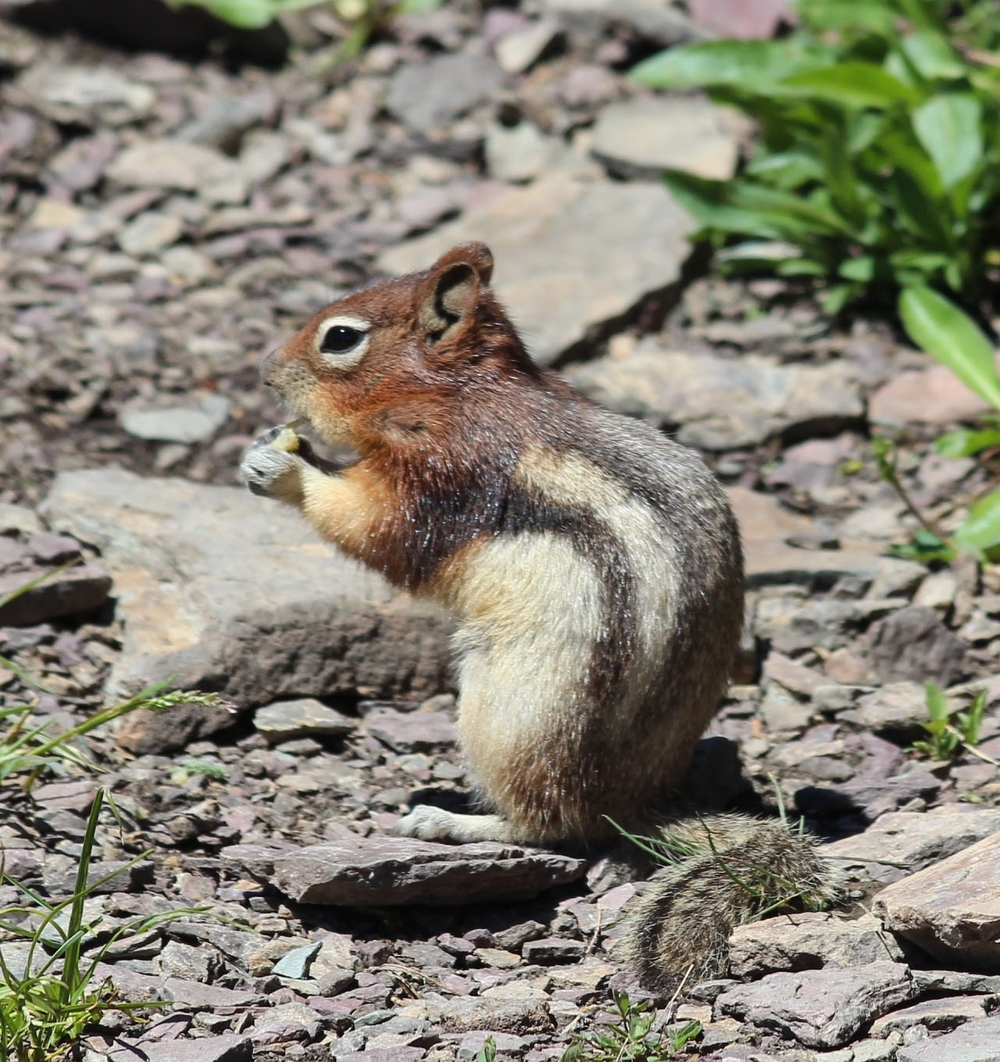 animals Chipmunk.jpg