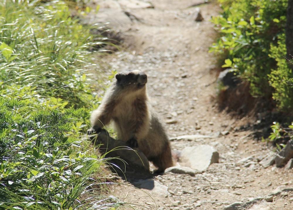 animals Marmot.jpg