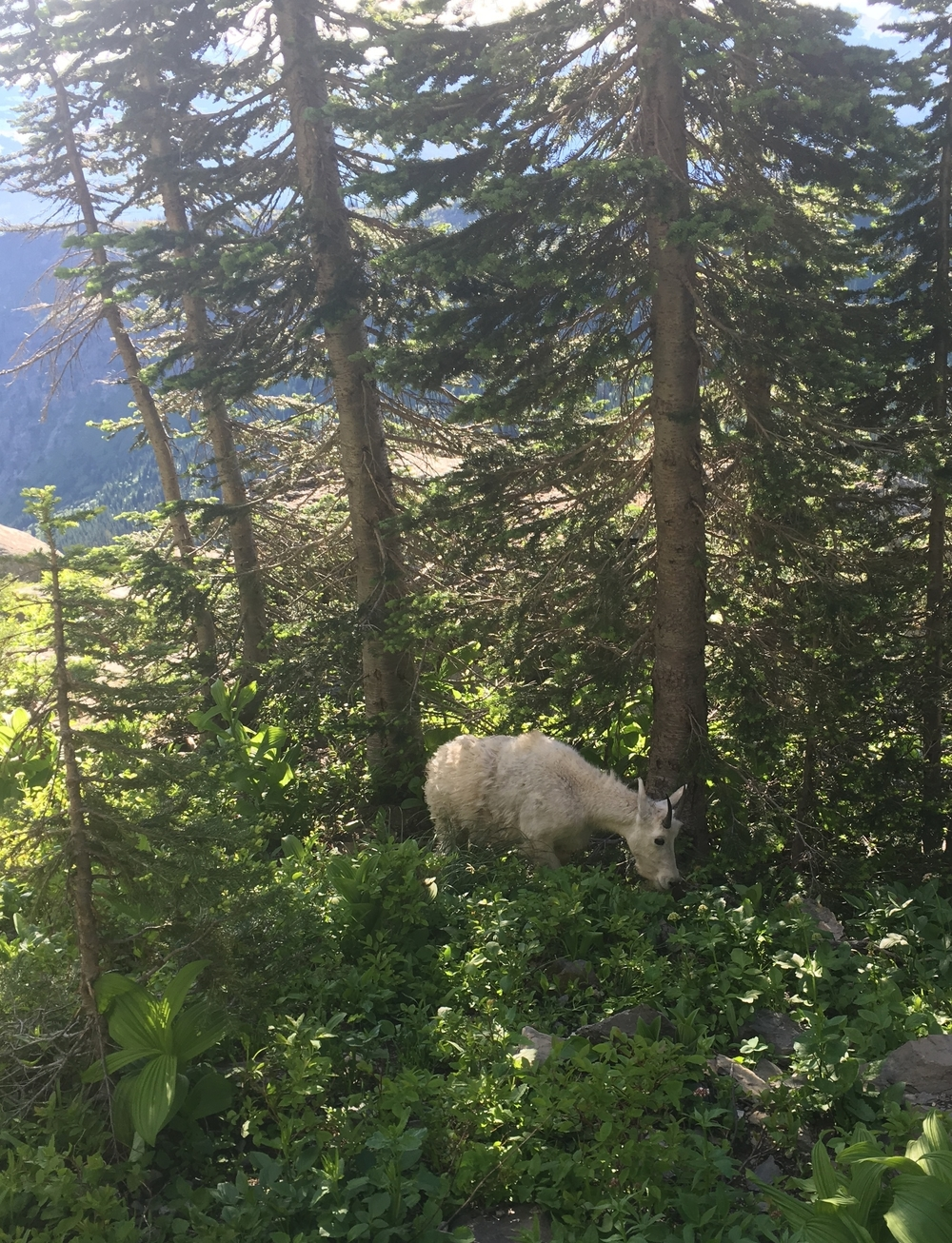 High Line Trail - goat.JPG