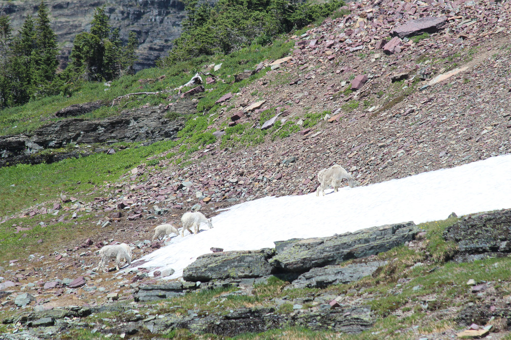 animals Mountain goat family.jpg
