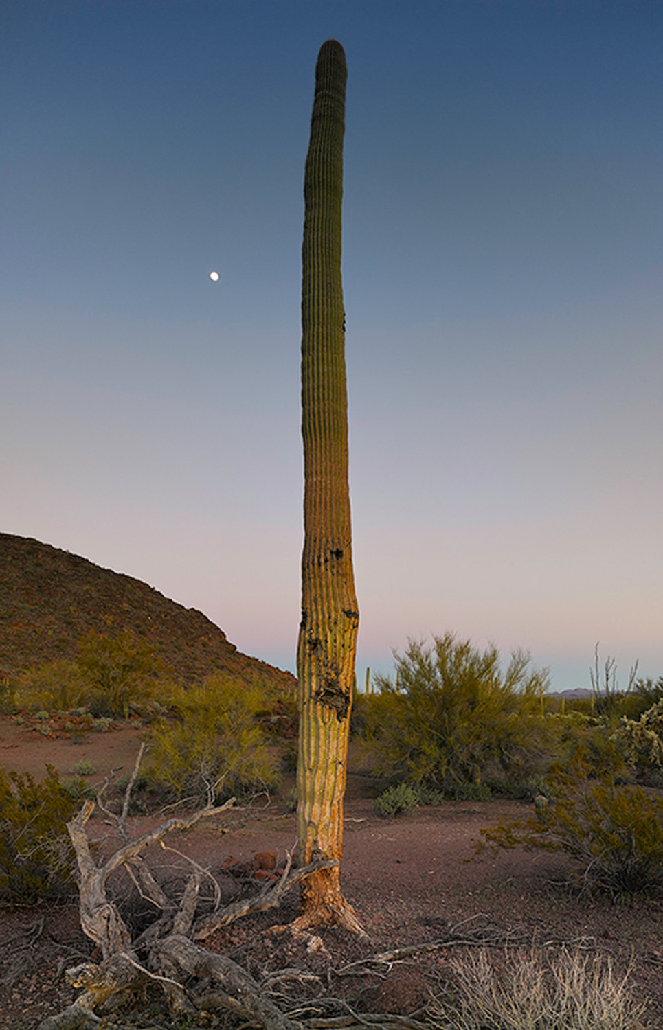 Saguaro after sunset with moon, 2013