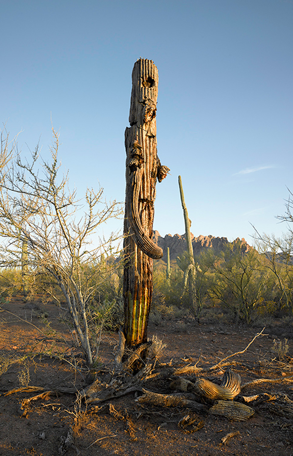 Saguaro desiccated and falling apart, 2013