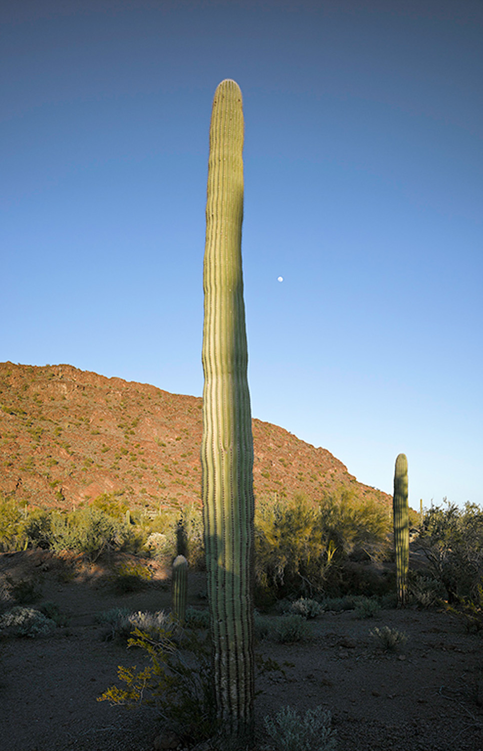 Saguaro before sunset with shadow and moon 2013