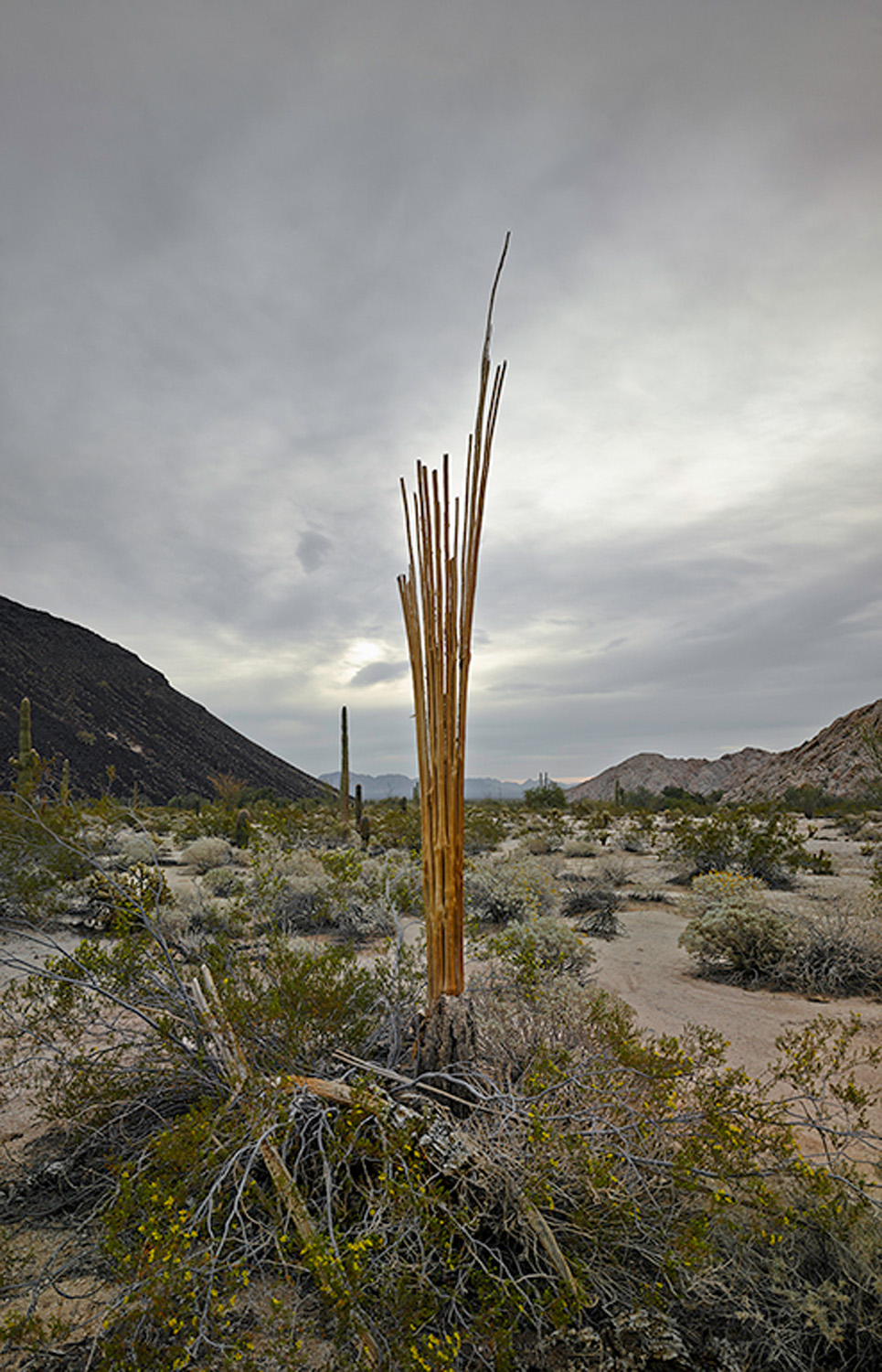Saguaro skeleton with storm clouds, 2013