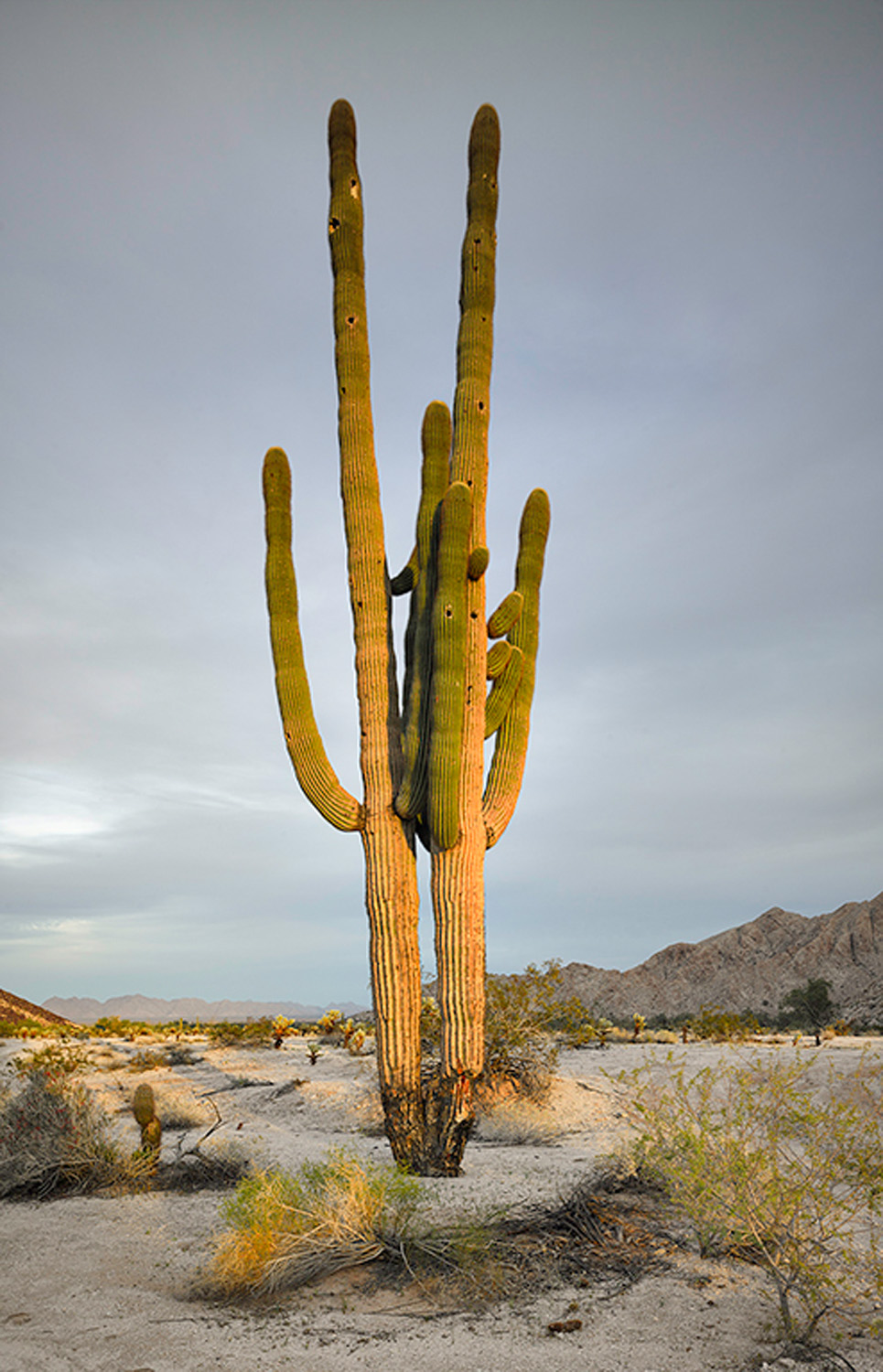 Saguaro twins at sunset, 2013