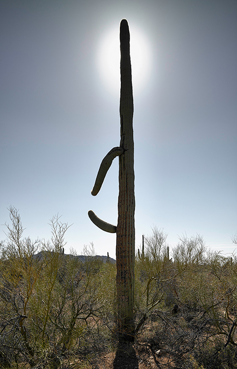 Saguaro with halo, 2013