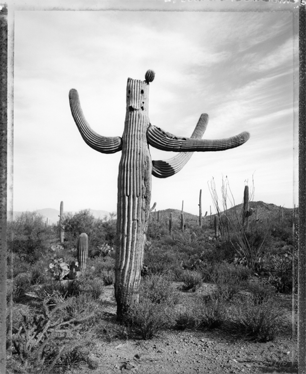 Cactus carved by gunfire, Tucson, 1990