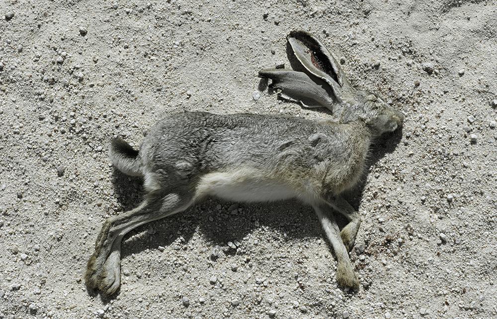 Dead jackrabbit 1, Camino del Diablo, 2013