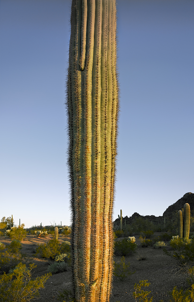 Saguaro trunk at dawn, 2013