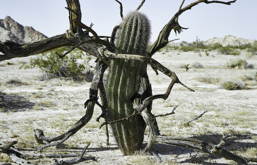 Saguaro gripped by ironwood tree, former nurse plant, 2014