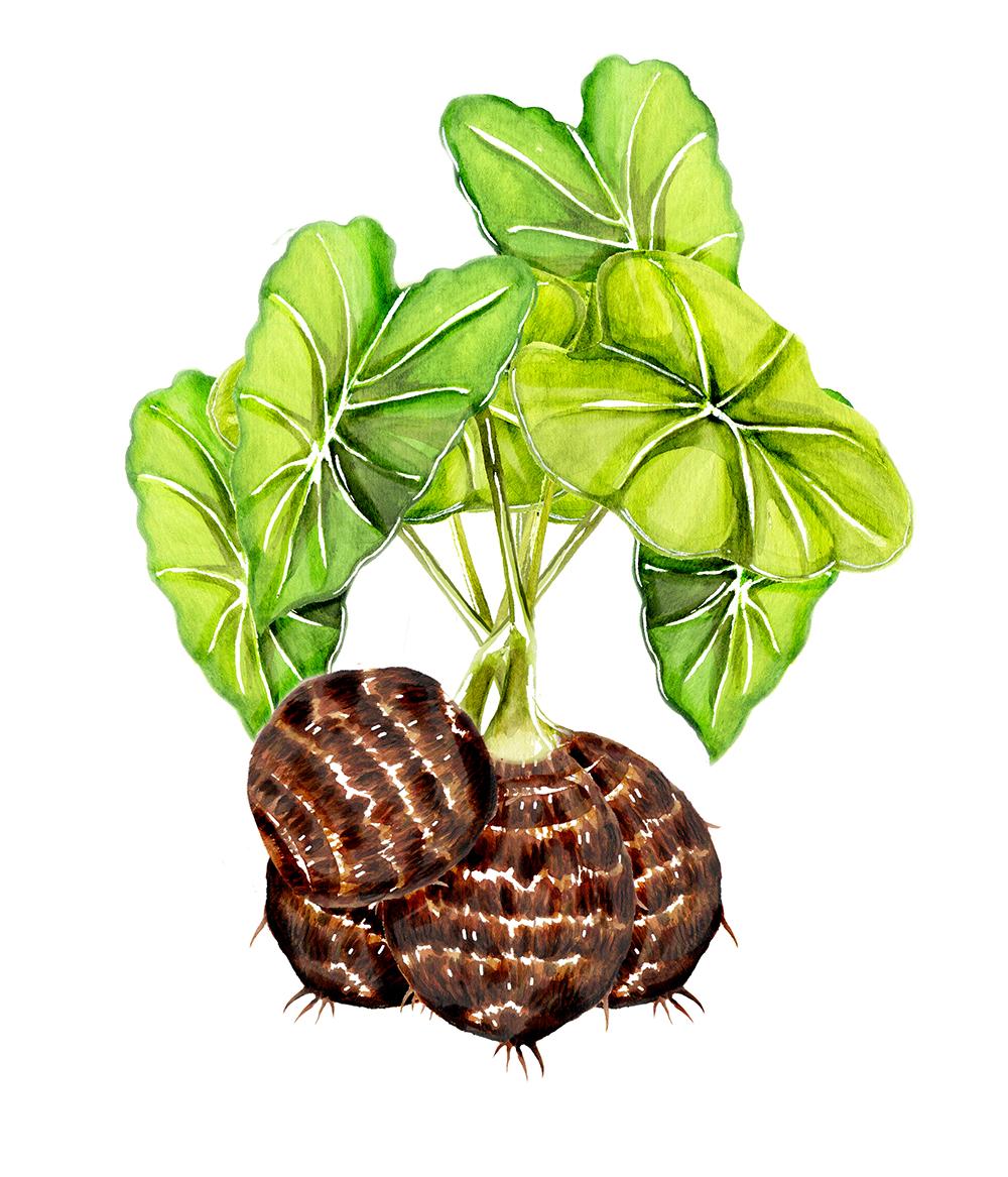 Satoimo Plant (Yam Plant)