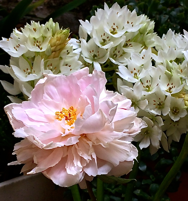 Flower:  Peony  Botanical Name:  Paeonia spp.