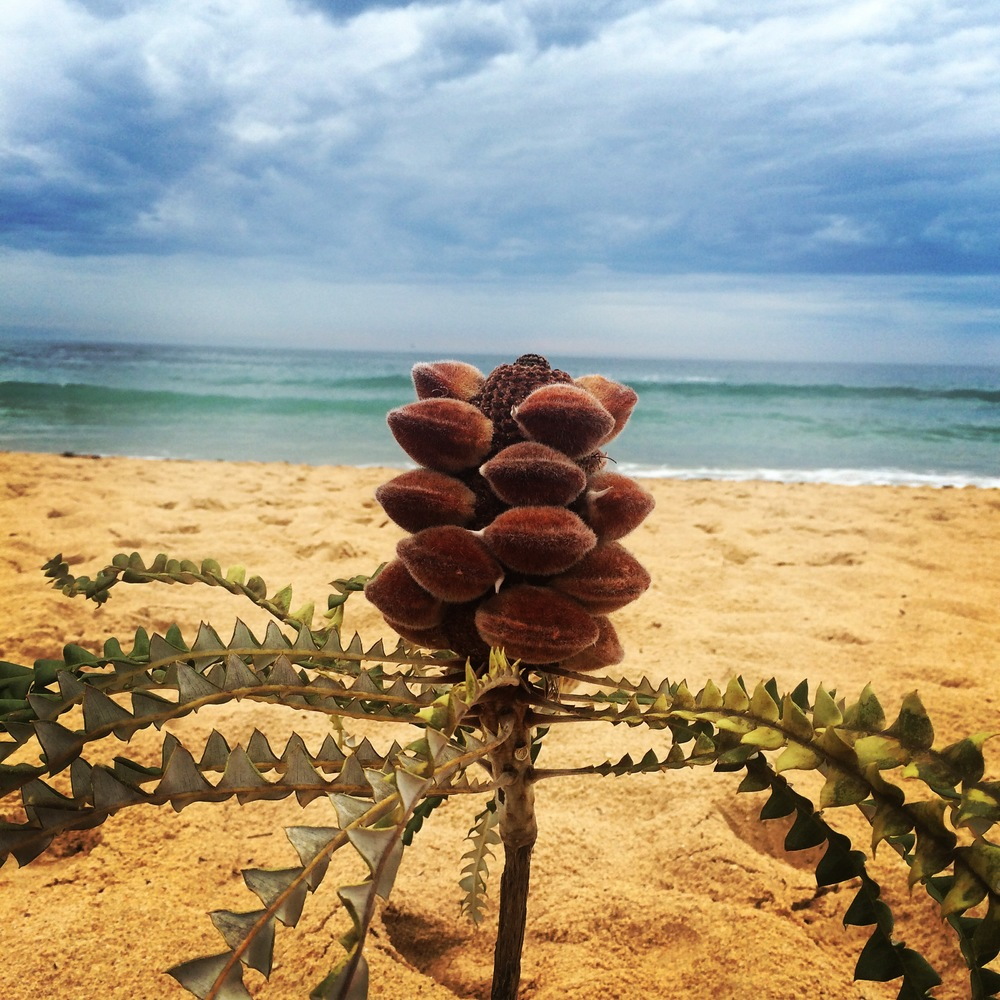 A gumnut baby heads to the sea
